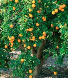 Orange douce (Citrus Sinensis)